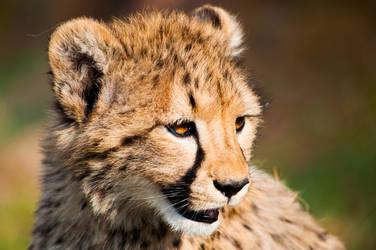 Baby cheetah by GlueR