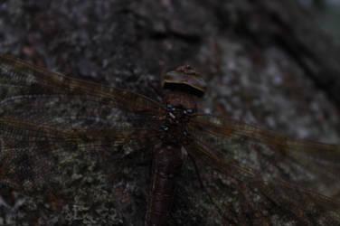 Dragon fly by Jossun