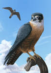 Commission: hobby falcon by Risachantag