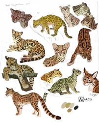 Leopardus wiedii by Astarcis