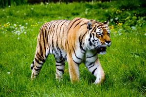 Tiger by MrTim