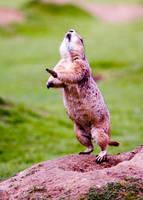 Marmot by MrTim