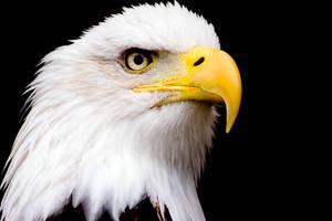 Bald Eagle 2 by MrTim