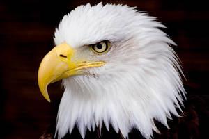 Bald Eagle 3 by MrTim
