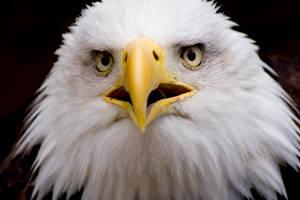 Bald Eagle 4 by MrTim
