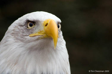 Bald Eagle 6 by MrTim
