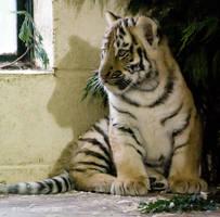 Siberian Tiger cub 1 by MrTim