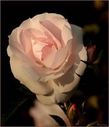 Rose by Drezdany