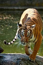 Tiger by Drezdany