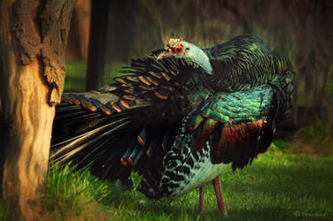 motley Ocellated Turkey by Drezdany