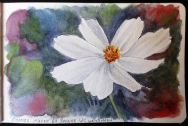 White Cosmos by robertsloan2
