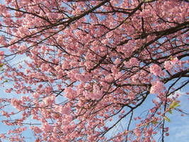 cherry blossoms by fabemiko-stock