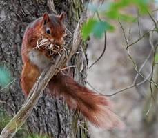 British Red Squirrel by wildbunchz