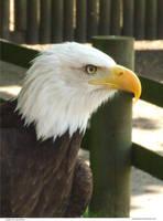 Eagle 05_quaddles by quaddles
