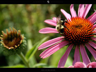 Photo - Flora+Insect - 3736 by resurgere