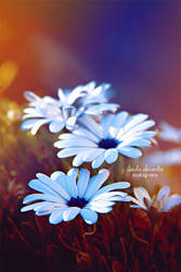 Simply daisies by claudia-alexandra