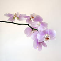 orchids by photofairy