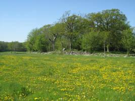 Dandelion field by CAStock