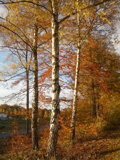 Birches by CAStock