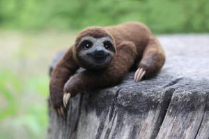 Three-toed Sloth by Irentoys