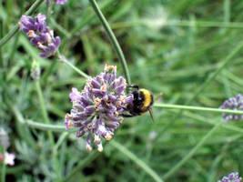 Lavender Bee 1 by Esmerelde