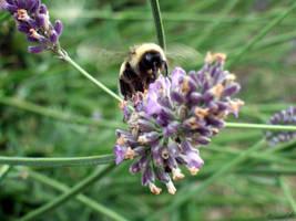 Lavender Bee 2 by Esmerelde