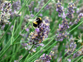 Lavender Bee 3 by Esmerelde