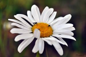 Wild Daisy Flies by Esmerelde
