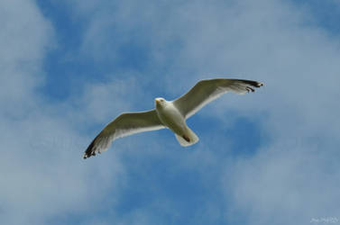 Seagull over Bude by Esmerelde