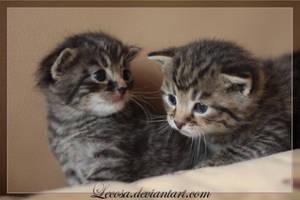 Kitten.... by Lecosa