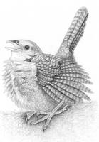 Rufous Scrub-bird (Atrichornis rufescens) by gouldian-finch