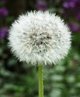 Dandelion by carriepage