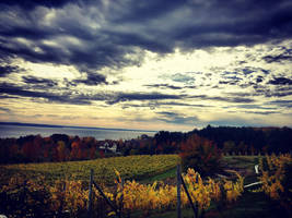 Willow Vineyard by carriepage