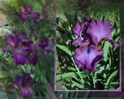 An Iris In May by Slovman