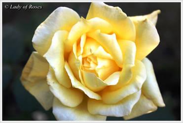 The Yellow Rose by Dark-Rose-Memories