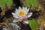Water Lily by Dark-Rose-Memories