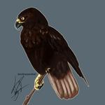 Weekly Raptor #1 - Harlan's Hawk by ordinaryredtail
