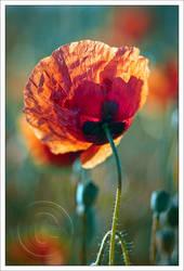 poppy in back light by neoloonatic