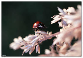 Coccinellidae by neoloonatic