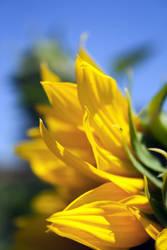 Sunflower by NeoMcKane