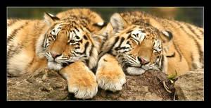 Tiger, tiger by Alex999
