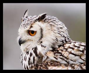 Owl by Alex999