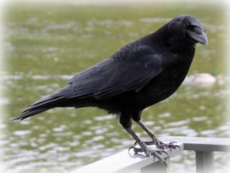 Crow (2) by Hubert11