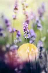 Dreamy lavender by Antrisolja