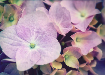 Pink hydrangea by Antrisolja