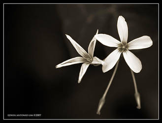 flowers07 by escrimador