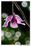 orchid 4 by escrimador