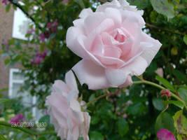 spring and roses by kusanagi60
