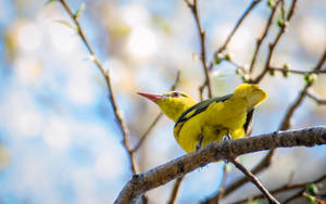 Indian Golden Oriole.. by preethi524