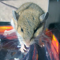 house mouse 2 by sataikasia